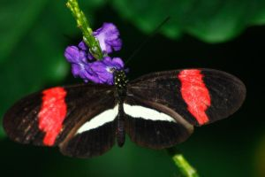 Red and White on Purple by S-H-Photography
