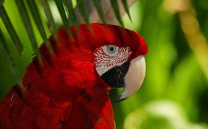 green winged macaw by alphamegapixel