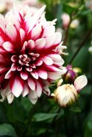 red and white flower by AnniesASeagull