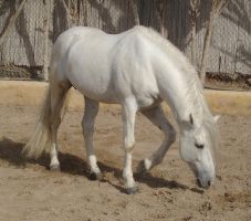 Andalusian Stallion9 - Stock by Bolero-L