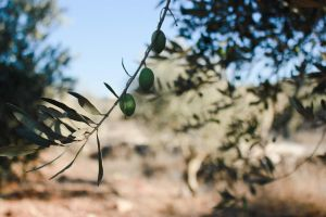 Olive Trees  In Palestine by Shatha92