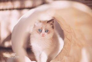 Ragdoll Kitten - Khaleesi by Lady-Tori