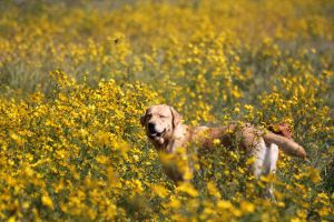 Happy Lab by LaurieSalzler