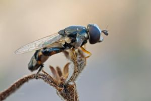Cold morning hoverfly by buleria