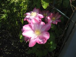 Clematis 5 by groundhog22
