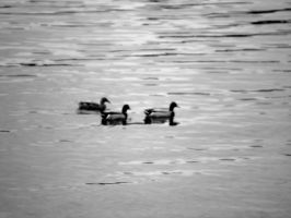 Black and White Duck Trio by kAoTiCwOnDeR