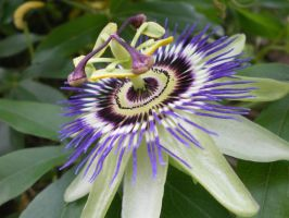 Passion Flower by whitewave-moth