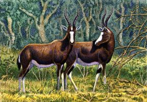Blesbok Couple by WillemSvdMerwe