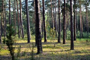 Pine forest. Sunset. by Kementarii