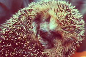 hedgehog baby by Emiliee91