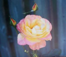 Last Rose of the Year,2010 by dlighted