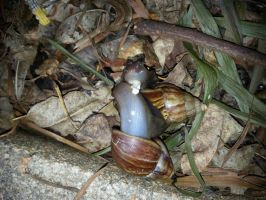 Snails sex 8Sep2014 by RiverKpocc