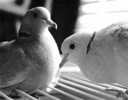 Two Turtle Doves by cionbird