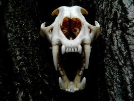 Mountain Lion Skull by omega145