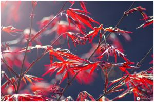Red Leafs - Chinese Acer by strehlistisch