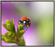 Lovely ladybird by Munchkinmay