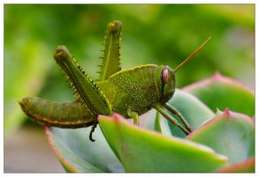 Egypt Grasshopper by JoseMelim