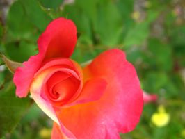 Another Swirl Rose Bud by my-dog-corky