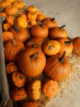 pumpkins at farm by ingeline-art