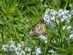 Monarch of the Flowers by AndehDulac