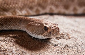 Red Diamond Rattlesnake by RoyallyCrimson