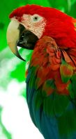 Harlequin Macaw by otas32