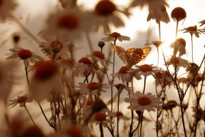 Golden  sunset with daisies by Floriandra