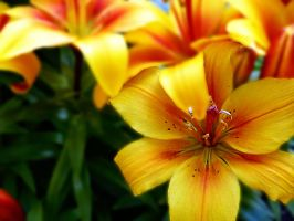 Golden Lilly 2 by friartuck40