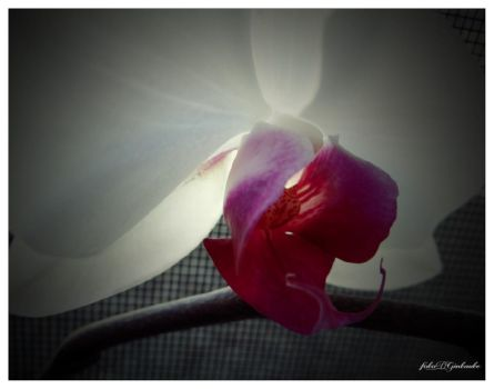 Orchid....3 by gintautegitte69