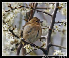 Spring Chaffinch by andy-j-s