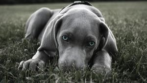 Weimaraner Wallpaper by Panico747
