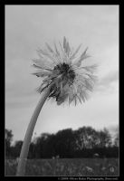 Wet Dandelion by foeo