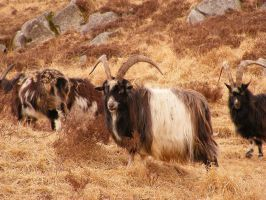 Wild Goats 10 by Axy-stock