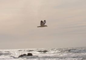 Seagull by transcendelia