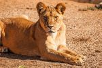 Lioness 2 by DanielleMiner