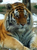 Panthera tigris altaica by Alouette-Photos
