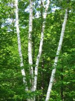 clump of white birch by crazygardener