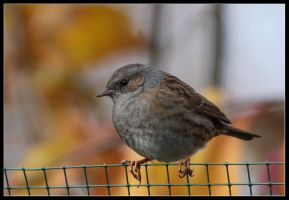 dunnock by 21711