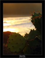 Opuntia. by pleautaud