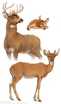 ODNR: WildOhio Life Cycle Deer by Rowkey