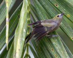 Palm Tanager in the Amazon by Ironpaw