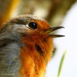 Another robin zoom xD by Jorapache