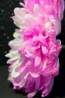 Pink and White Mum 3 by OneLittlePixel