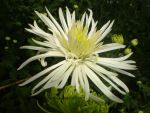 White Chrysanthemum by ForeverRookie
