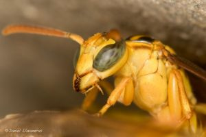 Wasp with palps by dllavaneras