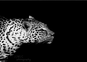 Night Leopard by lecairde