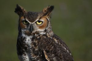 Great Horned Owl II by Scampia