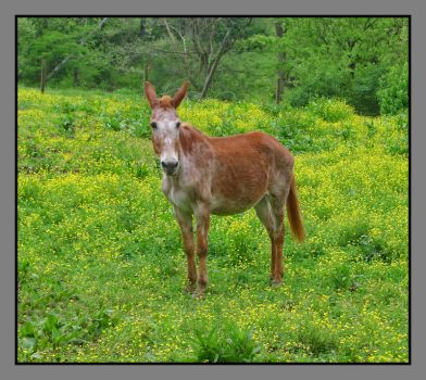 Mule. L1040873, with story by harrietsfriend