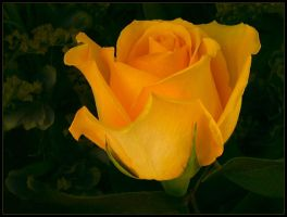 YELLOW ROSE 14 by THOM-B-FOTO