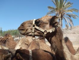 Camel Reference Stock Four by SilverNight1079